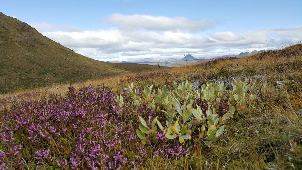 bloeiende heide met op de achtergrond het weidse uitzicht over de stille natuur met zijn heuvels, dalen, lavavelden en rivierstroompjes